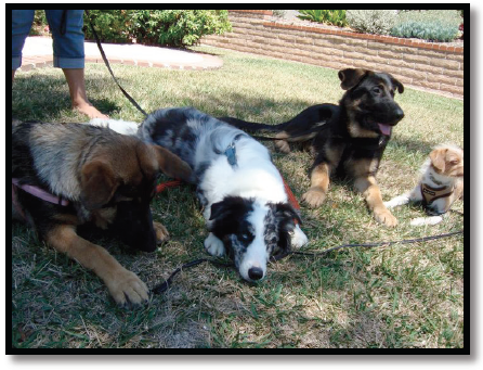 dog training german shepherds