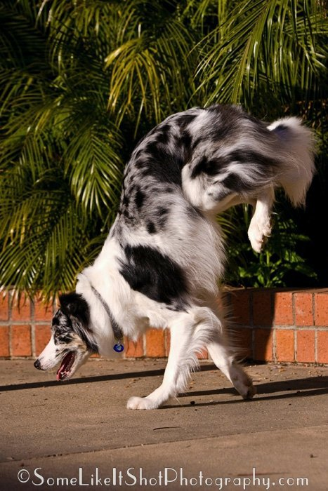 dog border collie walking handstand