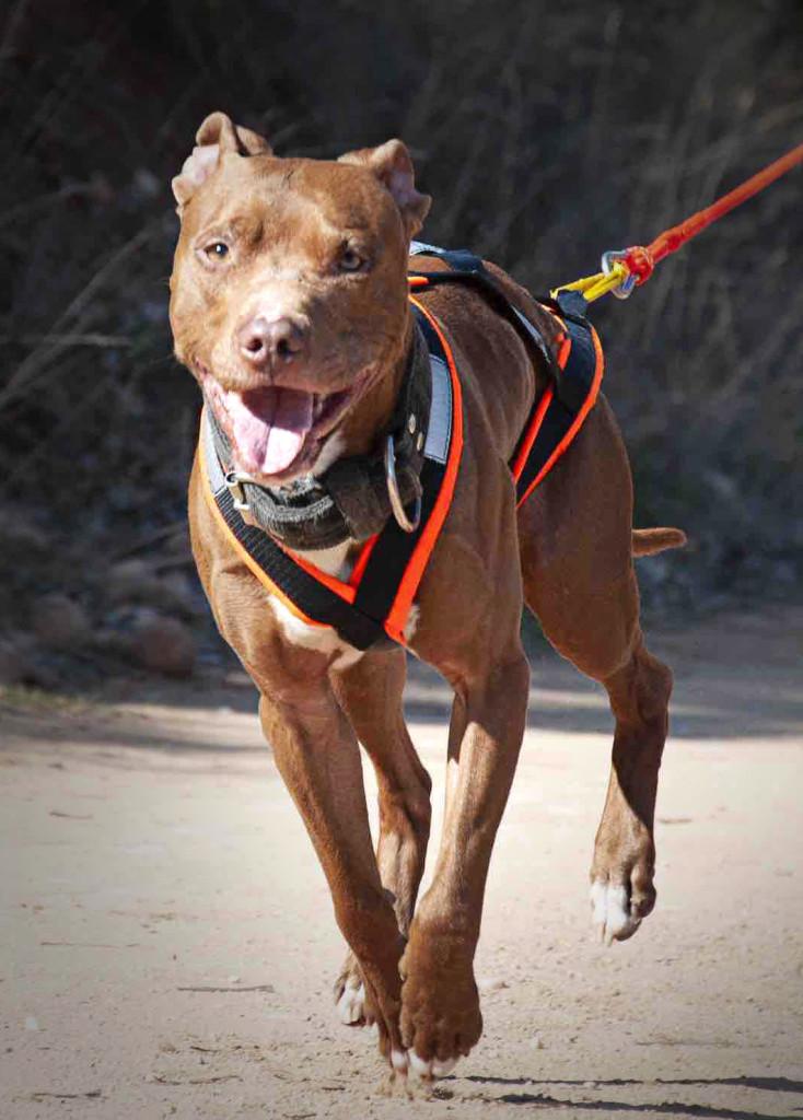pitbull dog training pittie how to train stress