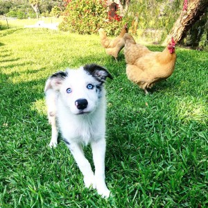 dog training border collie tips